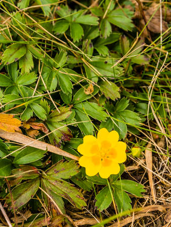 Top view of a beautiful yellow flower (Potentilla aurea L.) growing in the mountains.