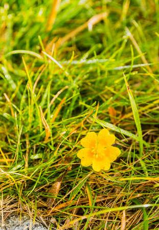 Dew drops on yellow flower petals - Potentilla aurea L..