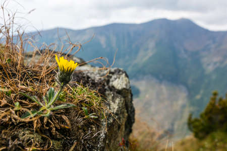 Flower Hieracium L. growing in the natural environment.