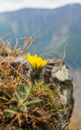 Close-up of a flower (Hieracium L) in a natural habitat.
