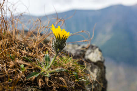 A natural mountain habitat for the occurrence of a flower (Hieracium L).