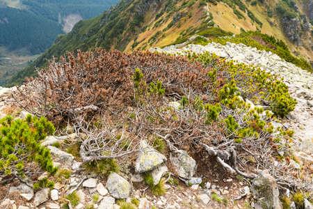 Partially dried Pinus mugo Turra needles on the ridge in the mountains.
