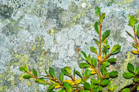 Willow (Salix L.) branch, creeping on the rock in the mountains.