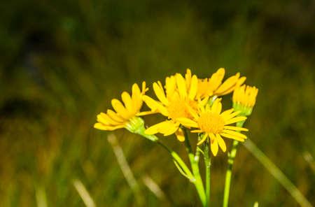 Yellow flowers Senecio subalpinus (Jacobaea subalpina). 免版税图像