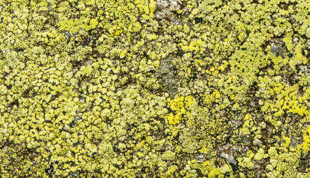 Crustose lichen - Map lichen (Rhizocarpon geographicum) on rock is used in the science of lichenometry. Zdjęcie Seryjne