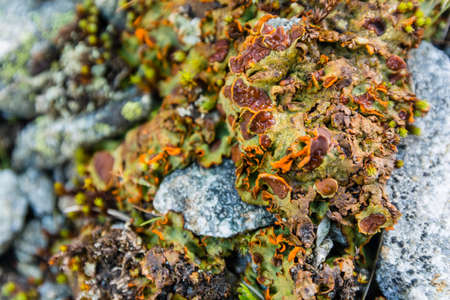 Close-up on the thallus lichen Solorina crocea (L.) Ach. occurring in the natural environment.