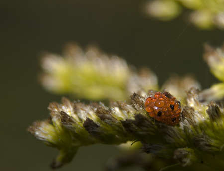 septempunctata: Coccinella septempunctata