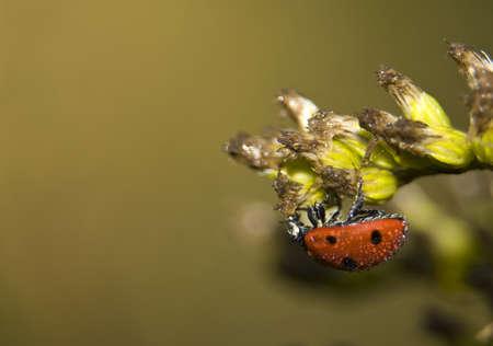coccinella: Coccinella septempunctata