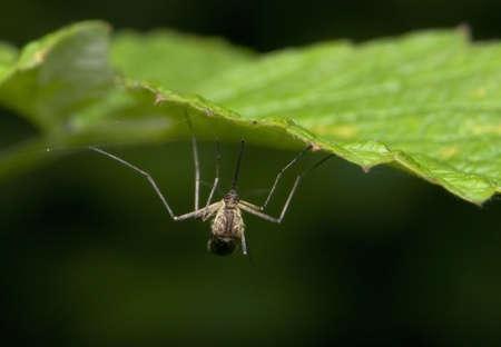 Mosquito Stock Photo - 8262661