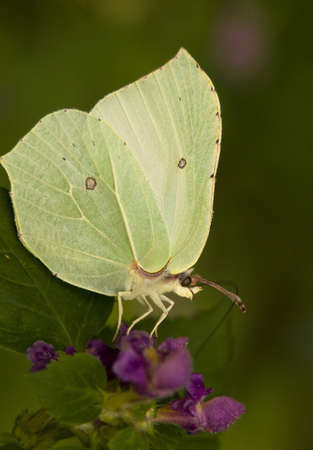 Gonepteryx rhamni Stock Photo - 8262733