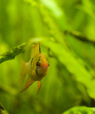 ramirezi: Microgeophagus ramirezi