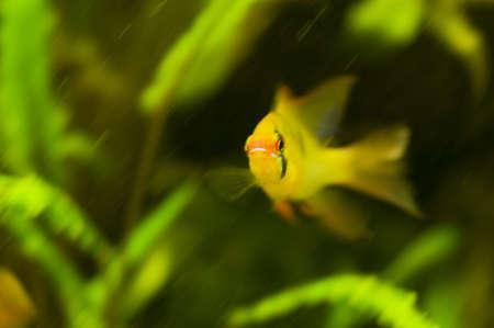 Microgeophagus ramirezi Stock Photo - 8262739