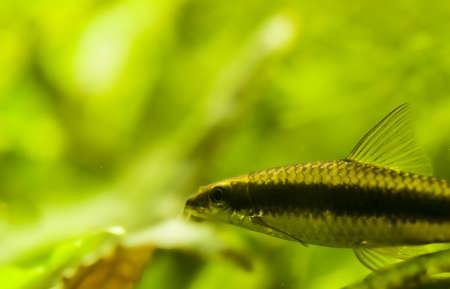 siamensis: Crossocheilus siamensis