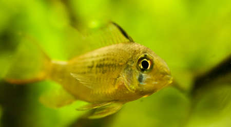 Microgeophagus altispinosus Stock Photo - 8262729