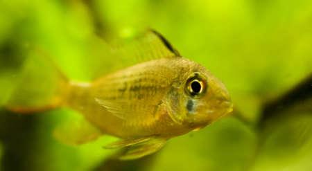 Microgeophagus altispinosus photo