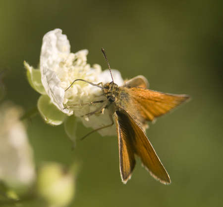 sylvanus: Ochlodes venatus, sylvanus, faunus Stock Photo