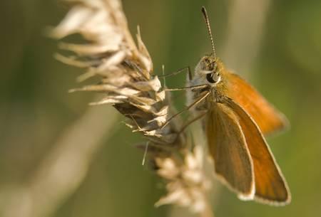ochlodes: Ochlodes venatus, sylvanus, faunus Stock Photo