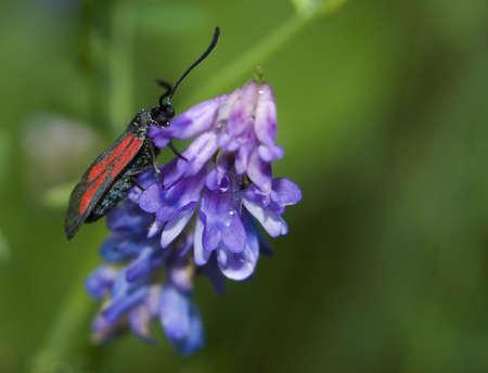 zygaena: Zygaena purpuralis