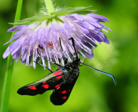 Zygaena lonicerae Stock Photo - 8262785