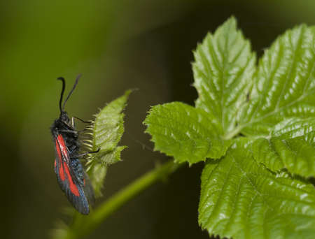 Zygaena osterodensis photo
