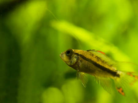Apistogramma cacatuoides Stock Photo - 8262759