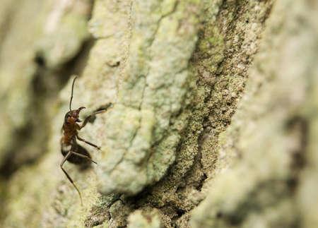 formic: Formica rufa