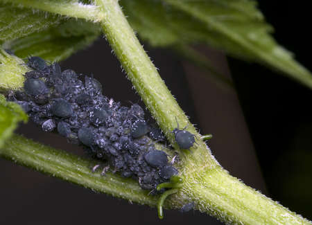 Aphids Stock Photo