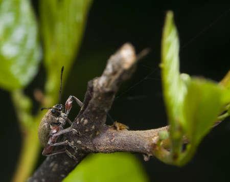 phyllobius: Phyllobius glaucus