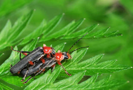 cantharis: Cantharis pellucida Stock Photo
