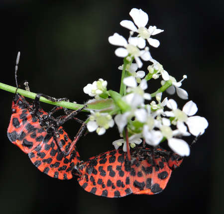 Graphosoma lineatum Stock Photo - 8324751