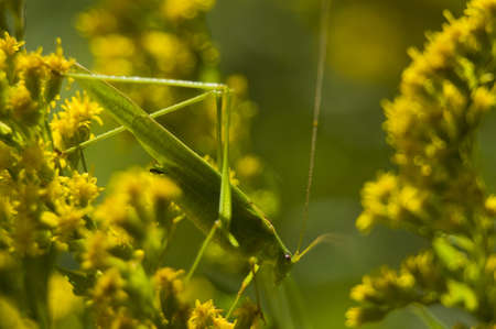 Phaneroptera falcata photo