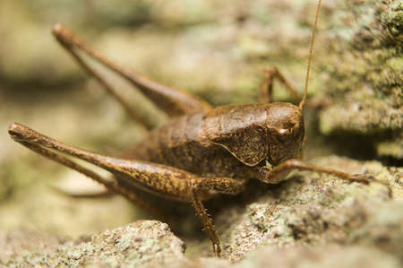 Pholidoptera griseoaptera Stock Photo - 8324055