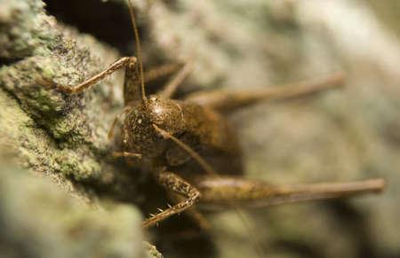 Pholidoptera griseoaptera Stock Photo - 8324759