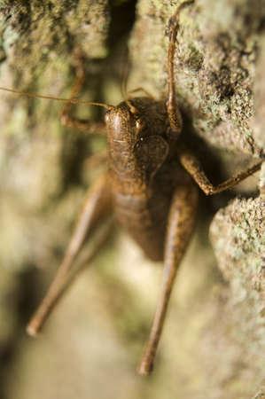 Pholidoptera griseoaptera photo