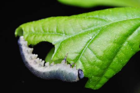 Larva Hymenoptera photo