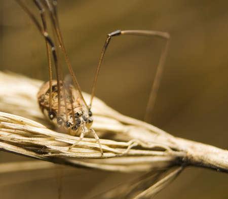 opiliones: Opiliones