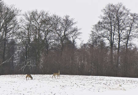 two deer in winter on the field Stock Photo - 8379699