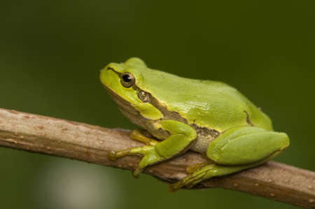 Hyla arborea photo