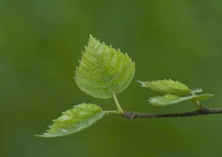 betula pendula: Birch hung betula pendula