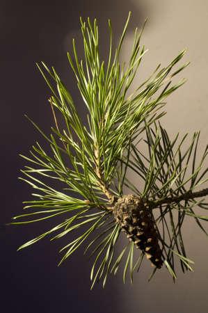 scots: Scots pine Pinus silvestris