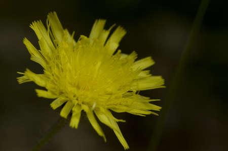 hieracium: Hieracium lachenalii