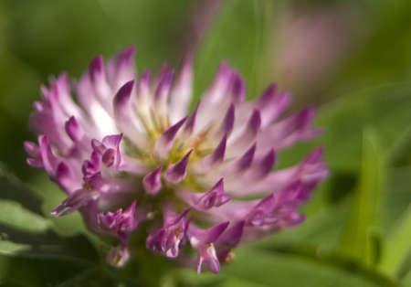trifolium: Trifolium hybridum