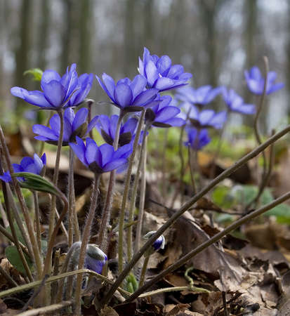 Hepatica nobilis Stock Photo - 8572145