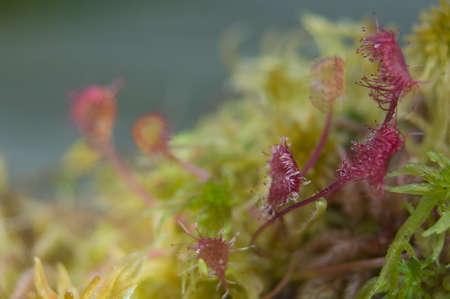 Drosera rotundifolia Stock Photo