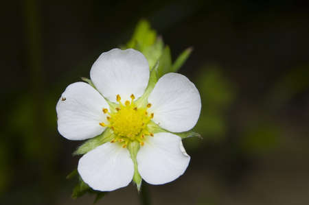 Fragaria vesca photo