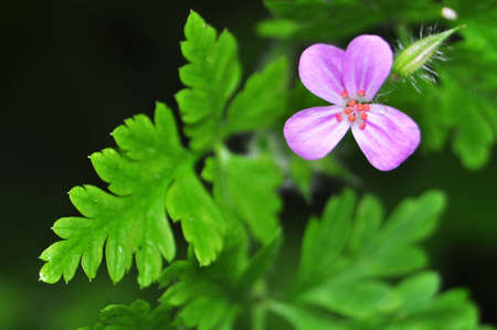 Geranium robertianum Stock Photo