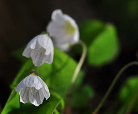 Oxalis acetosella Stock Photo - 8572087