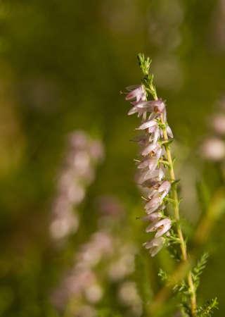 vulgaris: Calluna vulgaris  Stock Photo