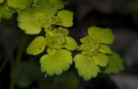 Chrysosplenium alternifolium photo