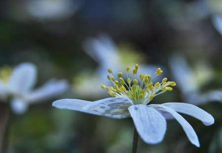 Anemone nemorosa photo